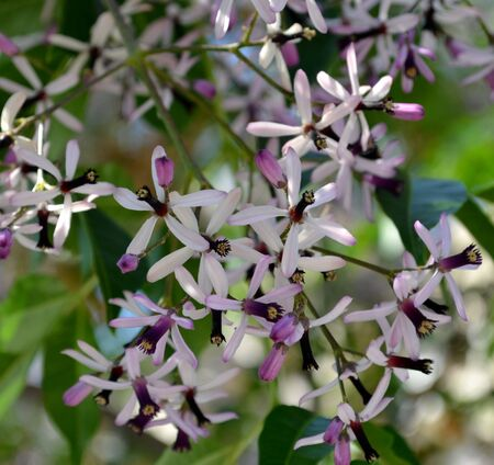 Purple flowers from chinaberry tree Stock Photo