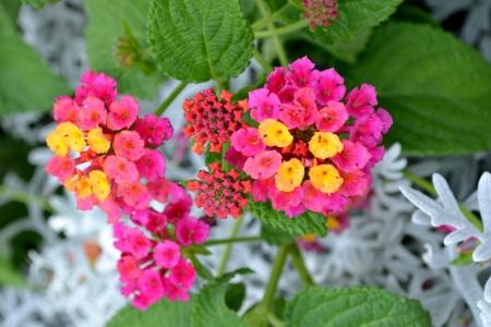 Close up of purple lantana camara flowers Stock Photo