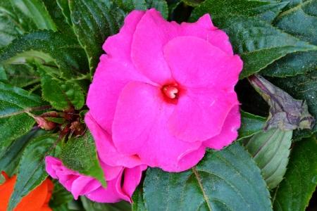impatiens: Impatiens brillantes flores de color rosa