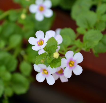 five petals: Small white flowers with pink center