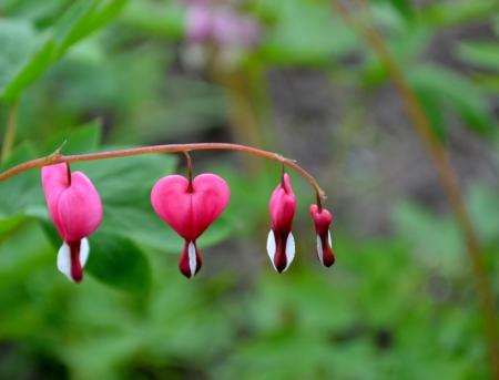 Pink bleeding heart flower in close up
