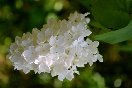 White lilac flower in close up photo