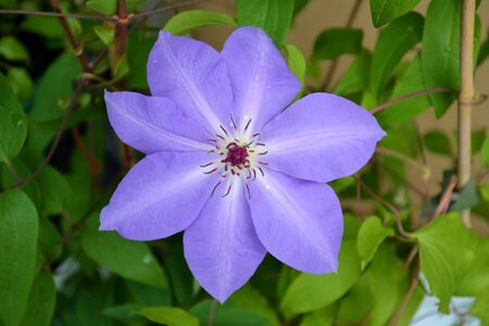 clematis flower: Purple clematis flower with leaves