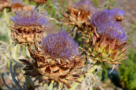 Wild artichoke purple flowers  photo