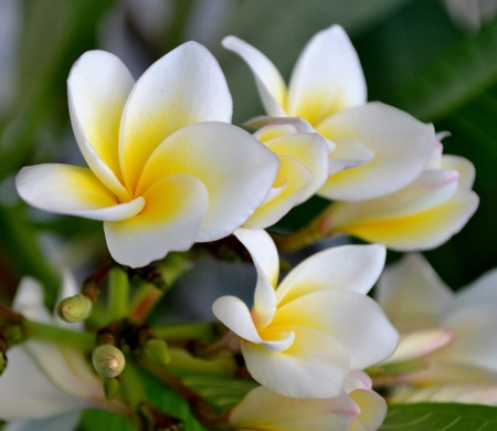 Plumeria flowers and green leaves Stock Photo