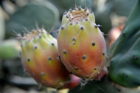 Close up of prickly pears  photo