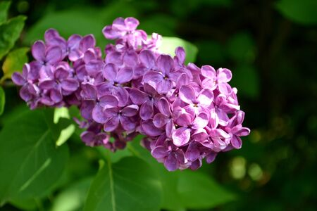 Purple lilac flower photo