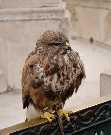 falco peregrinus: Falcon standing on gate