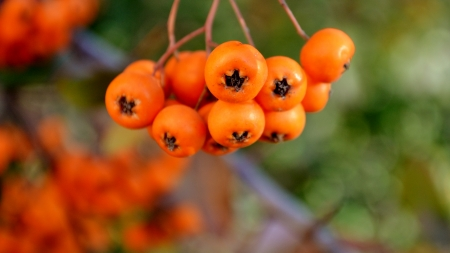 Pyracantha orange berries with branch photo