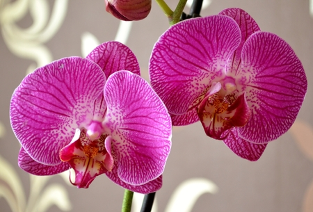 Detail of moth orchid photo