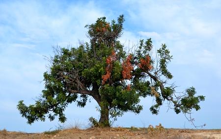 Carob tree and blue sky