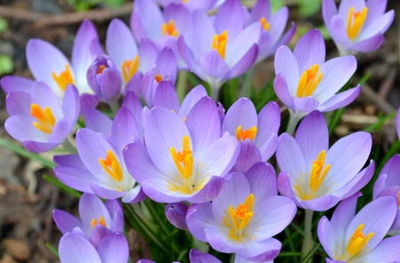 Wild purple crocus and grass photo