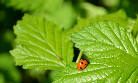 Ladybug and green leaves  photo