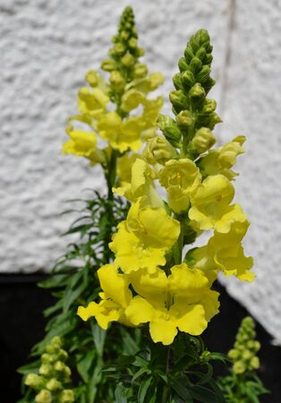 snapdragon: Yellow snapdragon flowers with buds