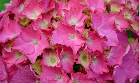 Hortensia flower and leaves  photo