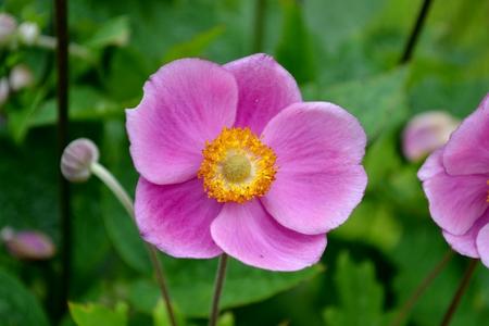 anemone flower: Dettaglio da giapponese fiore anemone