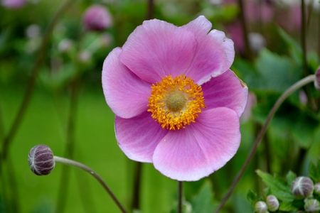 Detail from Japanese anemone flower photo