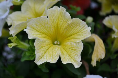 Detail from petunia flowers and leaves photo