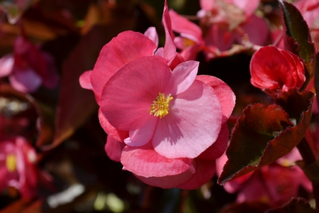 fibrous: Wax begonia flower and leaves