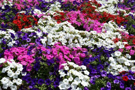 petunias: Multiple petunias and green leaves