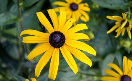 Black eyed susan flower and leaves photo