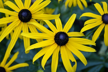 susan: Black eyed susan flower and leaves