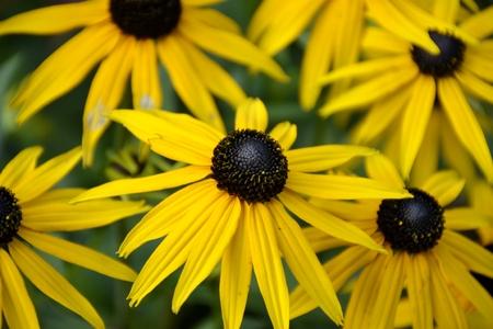 Black eyed susan flower and leaves