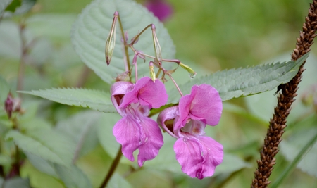 balsam: Himalayan balsam flower and leaves Stock Photo