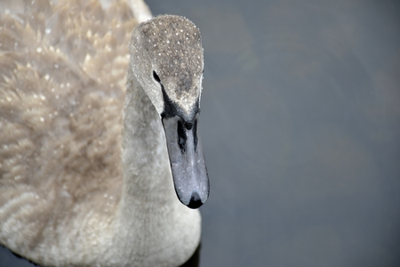 Young swan on water photo