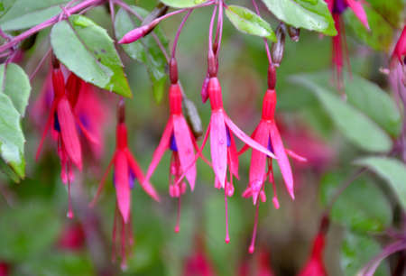 fuschia: Bright fuschia flowers and green leaves