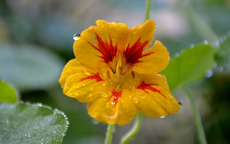 Nasturtium flower with rain drops and leaves Stock Photo