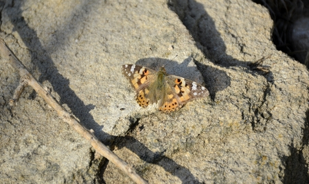 vanessa: Painted lady butterfly on a rock