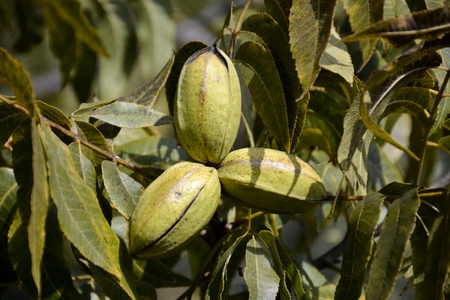 hickory nuts: Pecan tree nuts and leaves