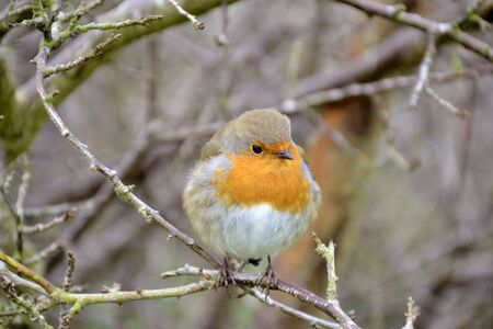 redbreast: Close up of a robin
