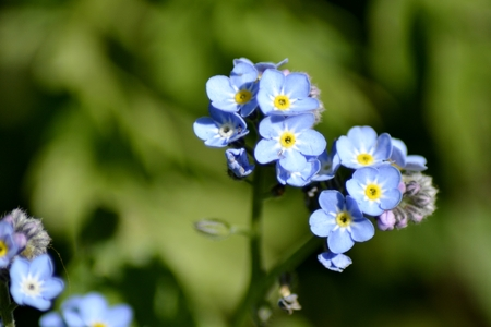 forget me not: Forget me not flower and leaves