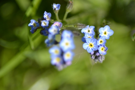 forget: Forget me not flower and leaves