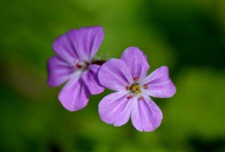robert: Detail of herb robert flower