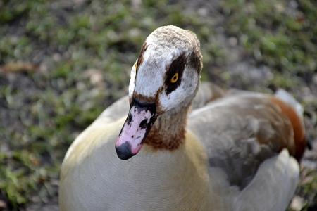 alopochen: Detail of wild Egyptian duck