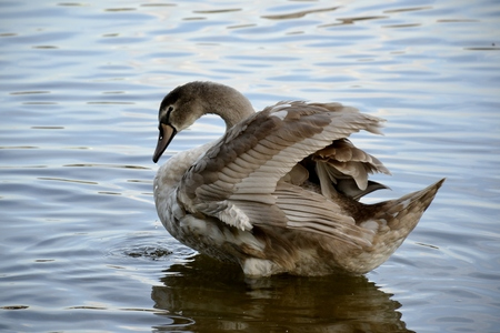 Detail of a wild swan and water Stock Photo