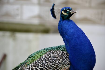 Detail of  a wild peacock outdoors and architecture Stock Photo