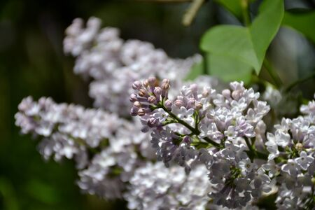Detail from lilac flowers and leaves