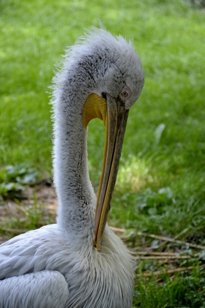 white washed: Details of wild pelican and green grass