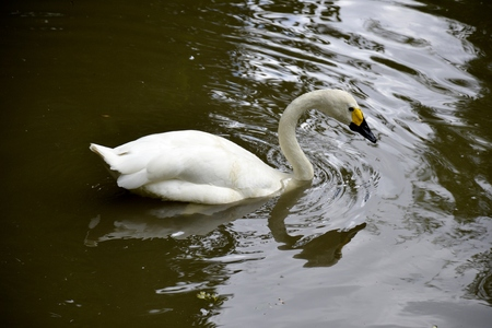Details of a wild whooper swan and water reflections