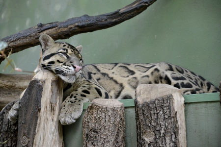 Details of a wild clouded leopard sleeping