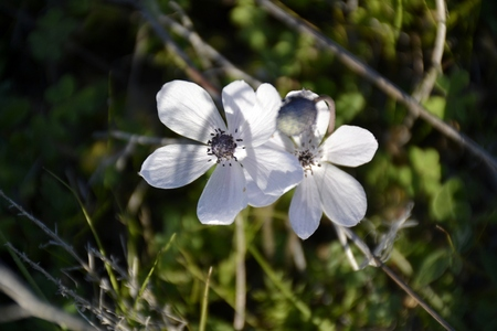 Detail of wild anemone flowers and green grass Stock Photo