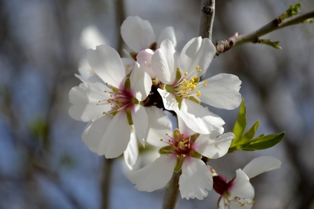 Details of almond tree flowers and leaves