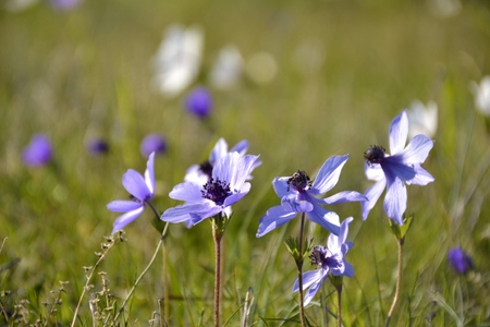 Details of wild anemone flowers and green leaves Stock Photo