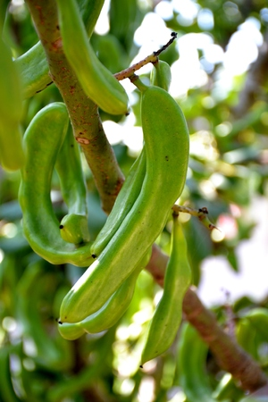 Details of wild green carob stems and green leaves