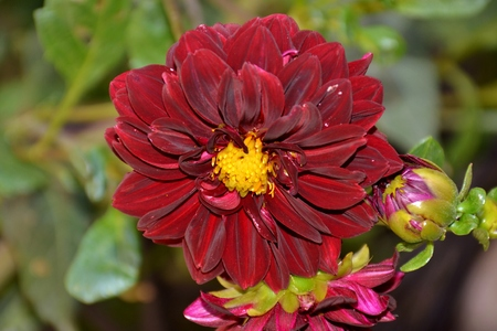Details of wild purple dahlia flowers with bud and green leaves