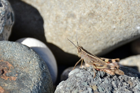 Close up of a grey  wild grasshopper sitting on a rock Stock Photo